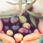 corktour olive